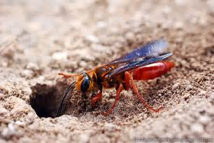 Red Wasp Ground Hornets