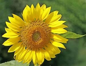 Graines De Tournesol Pour Oiseaux : tournesol une plante pour oiseaux et insectes ~ Farleysfitness.com Idées de Décoration