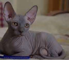 blue sphynx cat blue sphynx ready soon bournemouth dorset