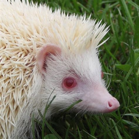 Heat L For Pygmy Hedgehog by Pin Pygmy Hedgehog Cage Size Cake On