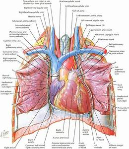 Netter U0026 39 S Anatomy Is Seriously Beautiful  You Don U0026 39 T Have To