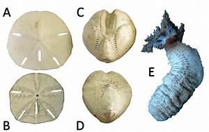 Equinoideos Irregulares  Mellita  A  Vista Aboral  B