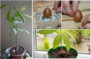 Baum Pflanzen Anleitung : avocado pflanzen schritt f r schritt anleitung von kern zur avocado pflanze diy garten ~ Frokenaadalensverden.com Haus und Dekorationen