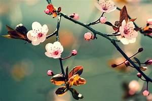 Japan's Cherry Blossom 15 Facts About Sakura Insider