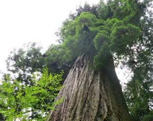 Redwood Trees National Park