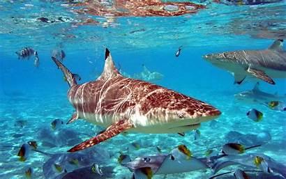 Shark Desktop Resolution Background Backgrounds Wallpapers Sharks