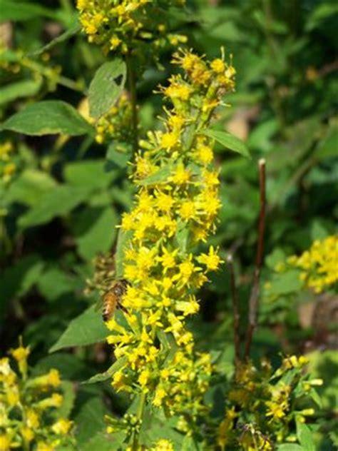 solidago flexicaulis variegata zigzag goldenrod  quackin grass nursery
