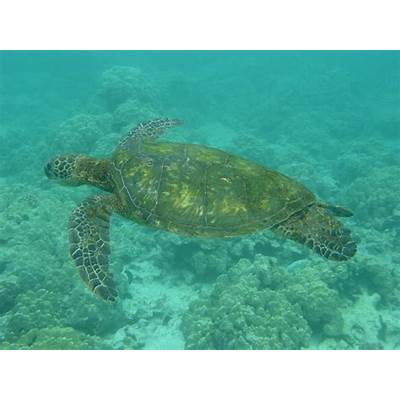 Anmth: Green Sea Turtles Wallpapers