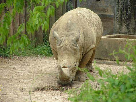 white zoo white rhinoceros pictures