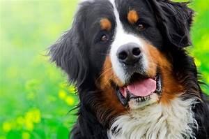 Berner Sennenhund Gewicht : wie gro werden berner sennenhunde ausgewachsen ~ Markanthonyermac.com Haus und Dekorationen