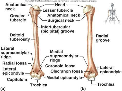 Ulna Diagram Neck by Humerus And Ulna And Radius At Asheville Buncombe