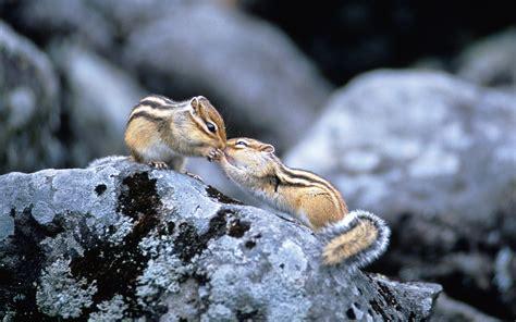 fond ecran bureau fond ecran bureau ecureuil duo sur un rocher
