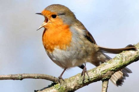 why do birds sing why dowhy do