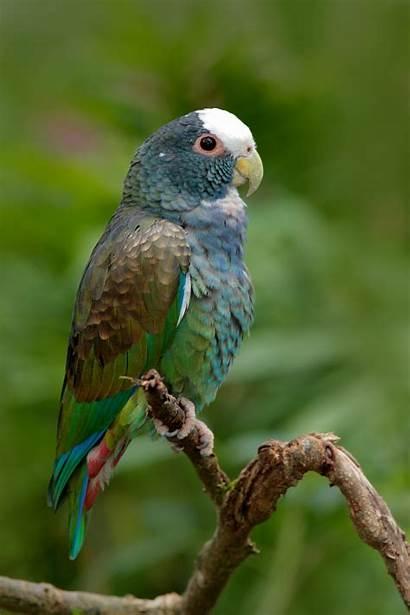 Pionus Capped Parrot Petguide Pet Elements Bird
