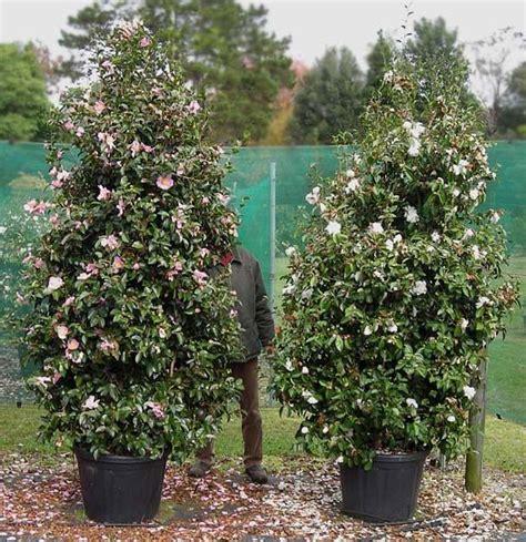 camellia in a pot camellia sasanqua plantation pink reference dscn pot litres 茶梅 camellia sasanqua