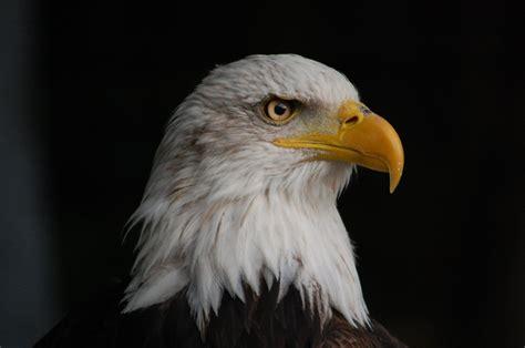 american bald eagle  symbol   united sta
