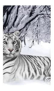 White Tiger Background, Blue Eyes White Tiger Background ...