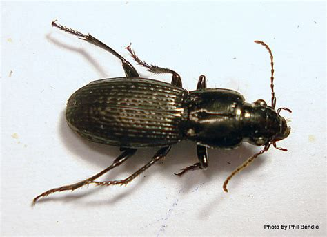 Types Of Black Beetles Pictures To Pin On Pinterest