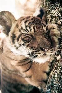 Baby Tiger | Animals | Pinterest