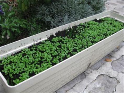 semer de la m 226 che dans un pot sur un balcon jardiner