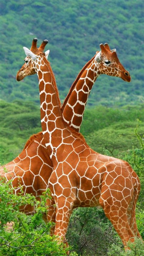 Animal Rescue Wallpaper - two giraffes iphone 5 wallpapers backgrounds 640 x 1136