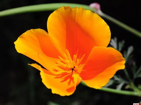 common california flowers scientific name eschsclozia californica common name california poppy family name papavaraceae