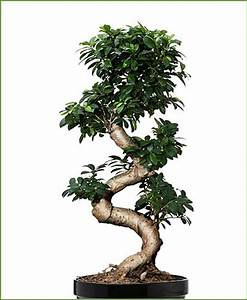 Bonsai Ficus Ginseng : ficus microcarpa ficus ginseng s shape 45 cm ~ Buech-reservation.com Haus und Dekorationen