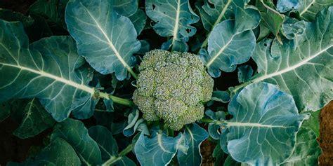 grow broccoli growing broccoli