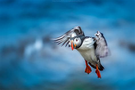 fly puffin fly flickr photo sharing