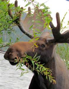 Grand Lake Colorado Moose