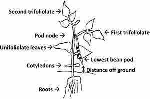 Diagram Of Common Bean Seedling Showing Measurement Of