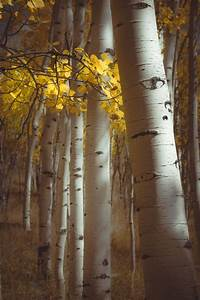 Fall, Aspen, Trees, Fall, Tree, Decor, Colorado, Art, Aspens