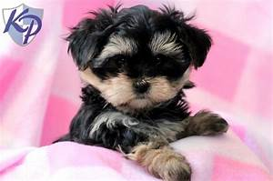 Dolly – Morkie Puppies for Sale in PA   Keystone Puppies ...