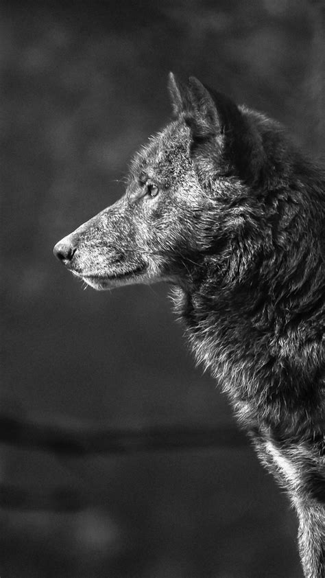 wallpaper wolf black  animals  page