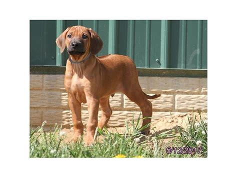 rhodesian ridgeback puppies petland carriage place