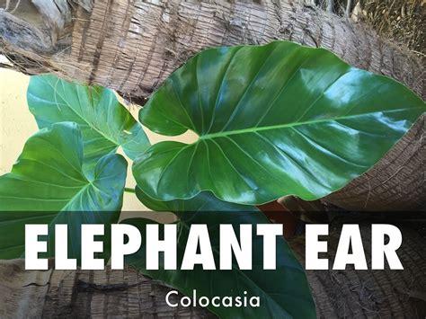 best fertilizer for elephant ears 28 best elephant ear fertilizer plantae 4th period six
