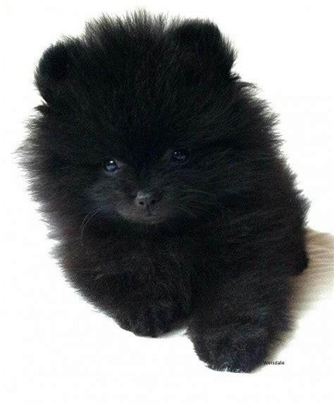 File Ee  Pomeranian Ee   Puppy Jpg Wikimedia Commons