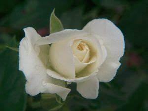 Fleur Rose Et Blanche : signification de la rose blanche dans le langage des fleurs ~ Dallasstarsshop.com Idées de Décoration
