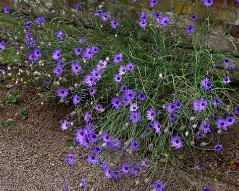 GardensOnline: Catananche caerulea