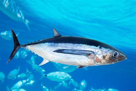 tuna fish canadian albacore tuna radioactive contamination in