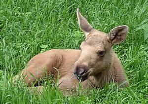 Amazing African Animals: Amazing Moose on the Run