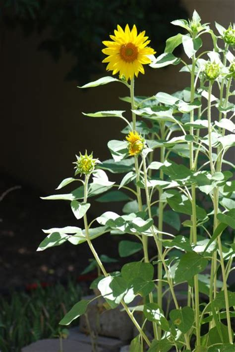 seed of the week sunflowers growing with science blog