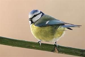 Oiseau Jaune Et Bleu : pleumartin et le pays des vals de gartempe chants d 39 oiseaux ~ Melissatoandfro.com Idées de Décoration