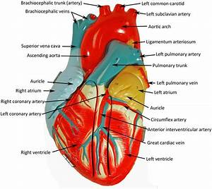 Image Result For Labeled Heart Model