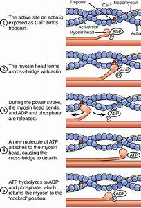 biochemistry - How is ATP involved in muscle contraction ...