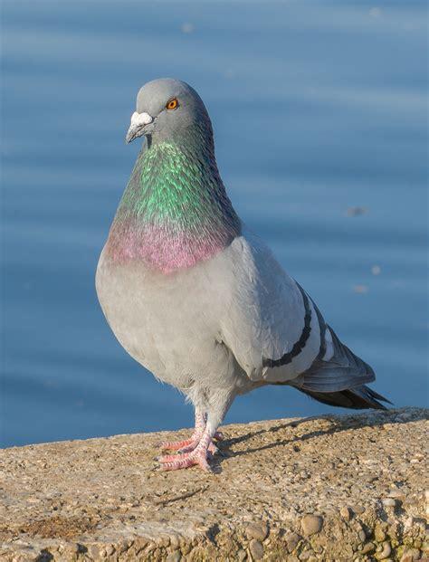 Rock dove - Wikipedia