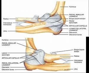 Elbow Anatomy Ligaments Anatomy  Americanhighschool