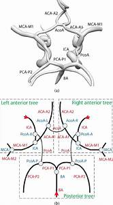 Anatomy Of The Circle Of Willis   A  Surface Rendering   B
