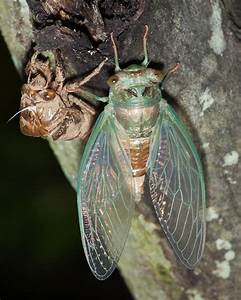 Cicadas | Songs of Insects