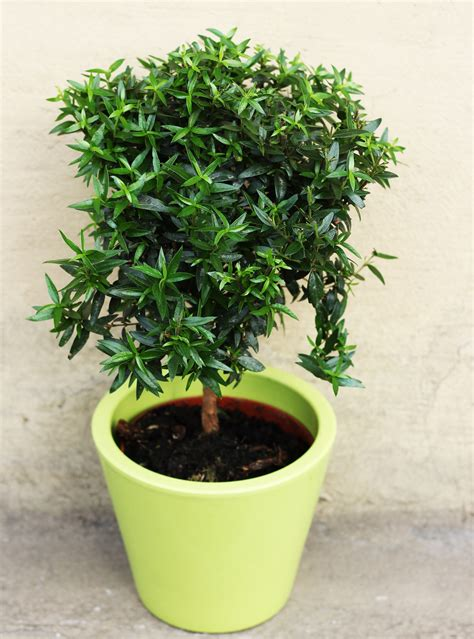 Elegantā un vienkāršā mirte - šis senatnīgais augs atkal ...